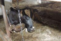 В Оренбургской области регулярно выявляются случаи заболевания животных бруцеллезом.