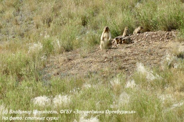 В заповедниках Оренбуржья потомство байбаков попало в объектив фотокамеры.