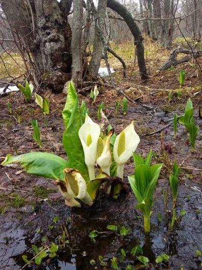 Лизихитон растёт во влажных местах.