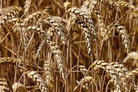 В Тюменской области развивается рынок зерна