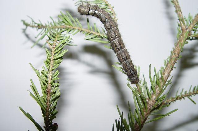 От препарата «Клонрин» погибает не только шелкопряд, но и пчелы.