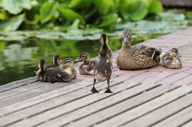 Утка мама с утятками благополучно добралась до реки с помощью трех девушек и полицейского.