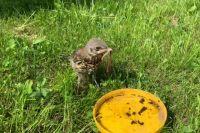 Птенец выпал из гнезда и без помощи людей не выжил бы.