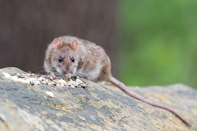 На улице Серова тюменцы жалуются на нашествие крыс