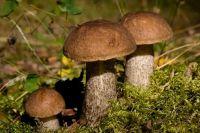 В лесах Новосибирской области пошли грибы.
