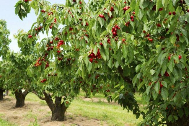 Молодой черешневый сад фермер заложил год назад с надеждой, что садоводство станет прибыльным делом.