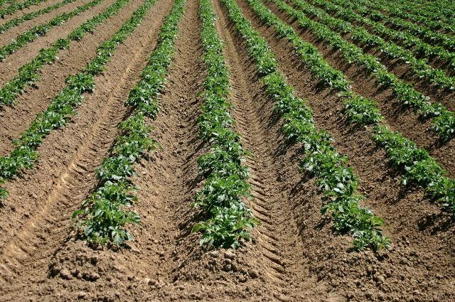 На тюменских полях всходит картофель