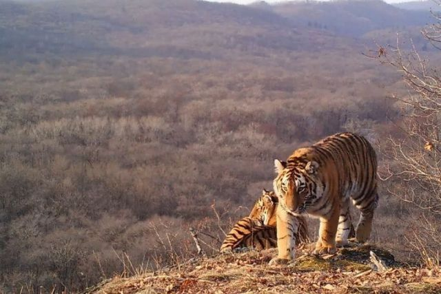 Тигры рассчитывают на помощь человека.
