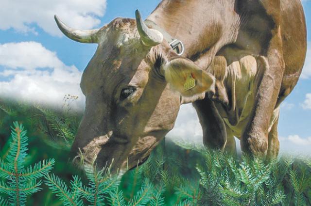 Введен полный запрет  на вывоз и продажу крупного рогатого скота