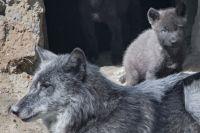 В Новосибирском зоопарке в настоящее время содержатся пять подвидов обыкновенного волка.