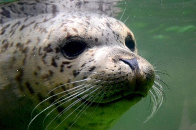 За пару дней волонтёрам удалось собрать более ста тысяч рублей на помощь тюленям.