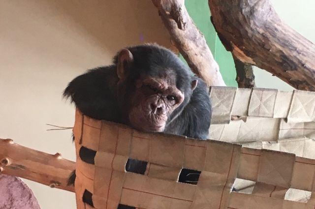 Обезьяны из автофургона в Ижевске могут оказаться в зоопарке