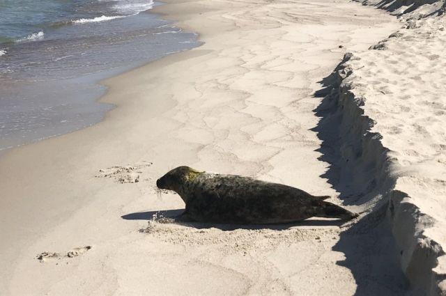 В парке «Куршская коса» выпустили в море серого тюленя