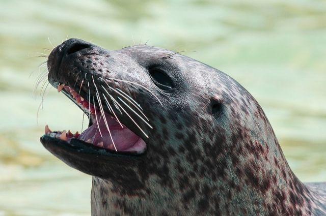 Для здоровья тюленей большую роль играет тонус венозных и артериальных сосудов.