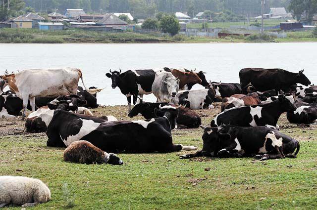 Для опытных фермеров есть возможность для развития хозяйства по программе поддержки семейных животноводческих ферм. Максимальный размер гранта – 10 млн руб.