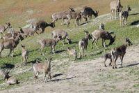В 2020 году на учетных участках специалисты зарегистрировали 93 группы сибирского горного козла, общей численностью 874 особи.