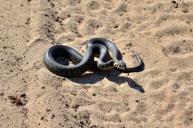 В Оренбуржье водитель неделю ездил с метровой змеей под приборной доской.