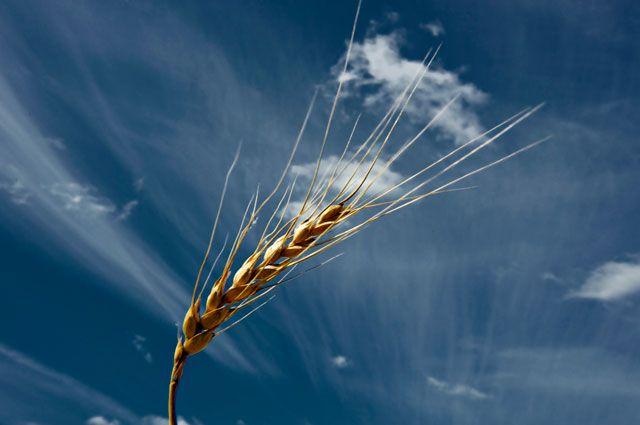 Украина почти на треть увеличила экспорт пшеницы