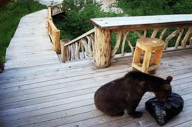 Медведь роется в мусорном мешке на Красной поляне.