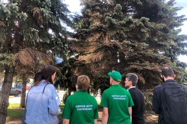 Специалисты обследуют голубые ели возле тюменской администрации