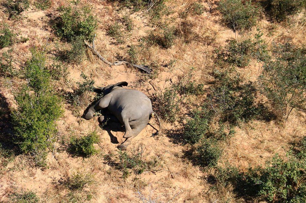 Первые останки скончавшегося слона были обнаружены около Серонга 11 мая. С тех пор тела животных на различных стадиях разложения находили постоянно.