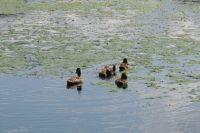 Абаканская протока превращается в болото.