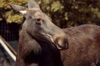На 174-м километре трассы легковой автомобиль насмерть сбил двухлетнюю самку лося.