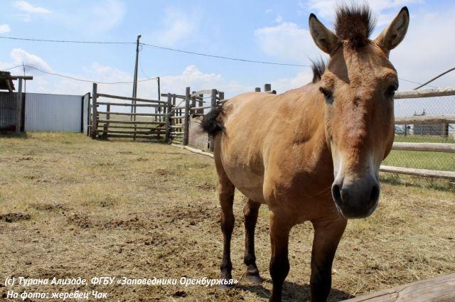 Раненая в «Оренбургской тартании» лошадь Пржевальского идет на поправку.