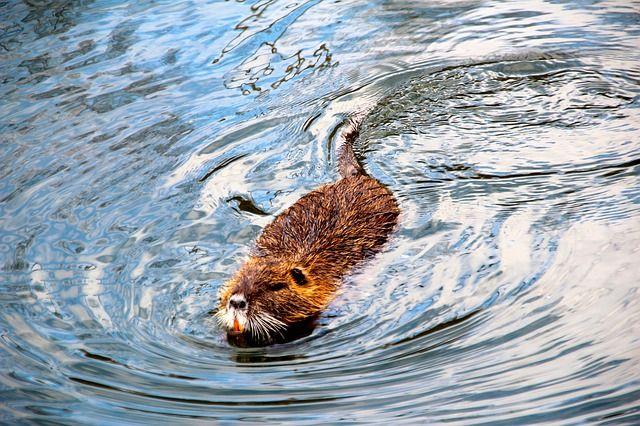 Расчистка русла протоки не повлияет на популяцию животных.