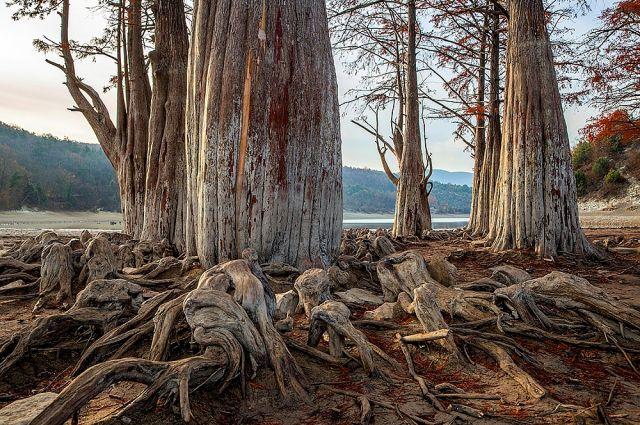 Обмеление кипарисового озера происходит почти каждый год осенью, однако 2020 год выдался особенно засушливым.