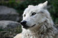 В общей сложности с начала года охотники добыли 161 волка.