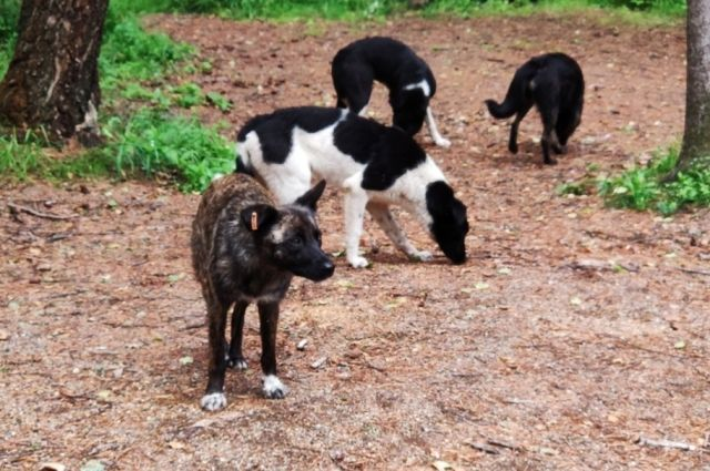 На месте прикорма собаки сбиваются в стаи, и, как показала практика, наносят ущерб природному комплексу.