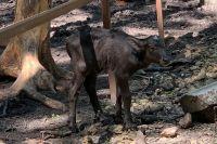 Уже через несколько часов после рождения буйволёнок смог встать на ноги и сделать несколько шагов