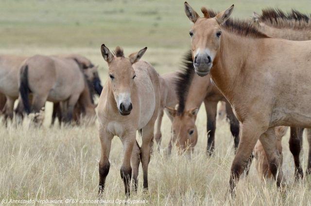В Оренбуржье «усыновили» жеребят лошади Пржевальского.
