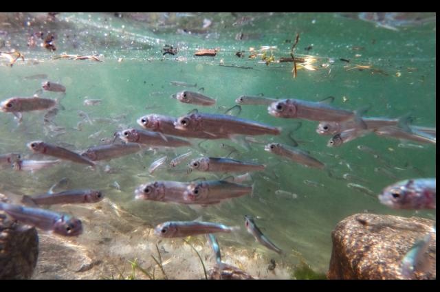 Ямальские рыбоводы выпустили в Собь около 500 тысяч мальков чира