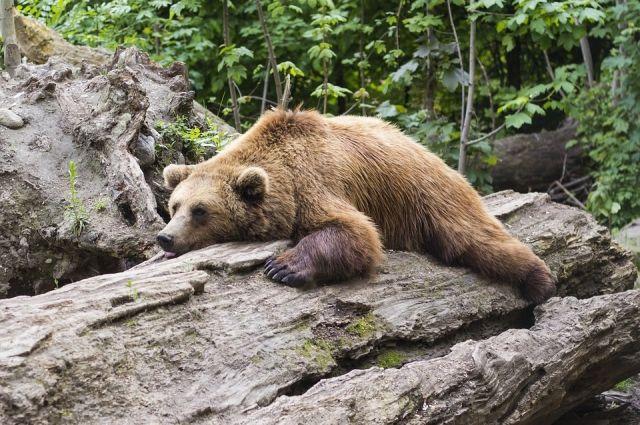 Медведя видели в СОТ «Энергия», леспромхозе и около дачных домов.