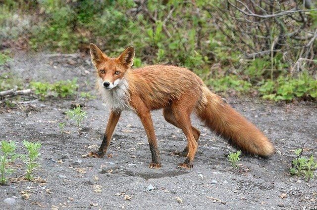 Минприроды объявило о регулировании численности лисиц.