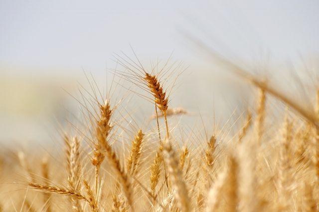 Оренбургские элеваторы начали прием нового урожая.