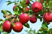 Украинские садоводы снизили цены на яблоки нового урожая