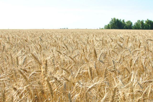 В Оренбуржье нашли новый способ заработать на пшенице.