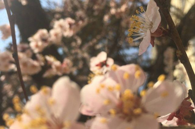 В Оренбурге на ул. Липовой без ухода погибает абрикосовая аллея.