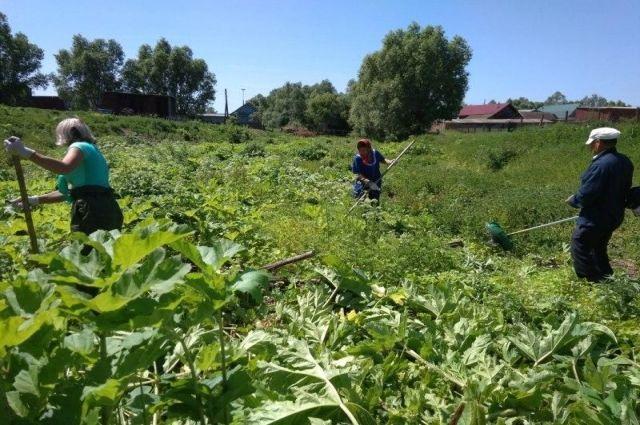 Прогнать борщевик можно только при системном скашивании растения и обработке гербицидами.