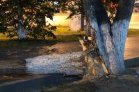 В Тюмени дерево упало на пешеходов, один из них - в больнице