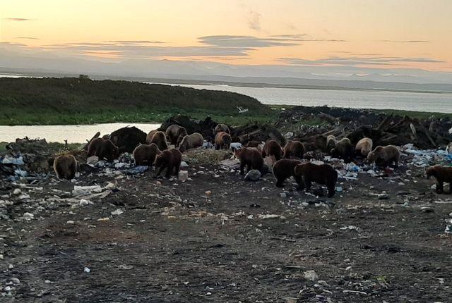 Медведи обитают на свалке в полутора километрах от села