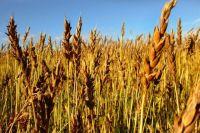 В Оренбуржье специалисты выясняют причину возгорания на поле, из-за которого было уничтожено 40 гектаров ржи.