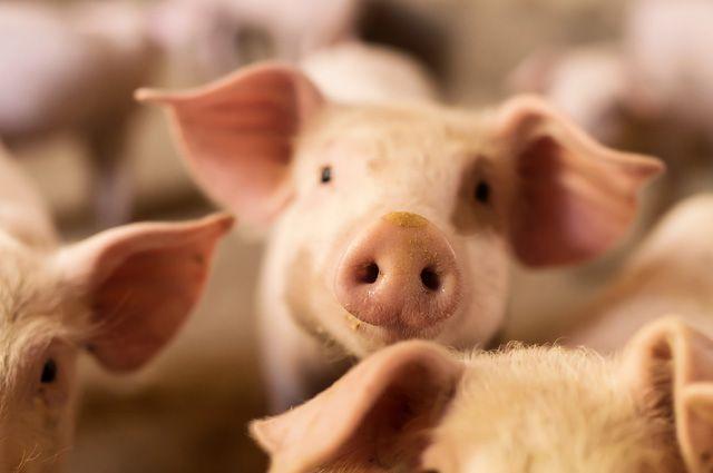 Что за новый тип свиного гриппа обнаружили в Бразилии?