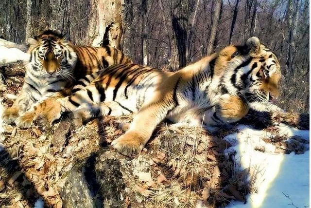 Тигров лечат и адаптируют к жизни.
