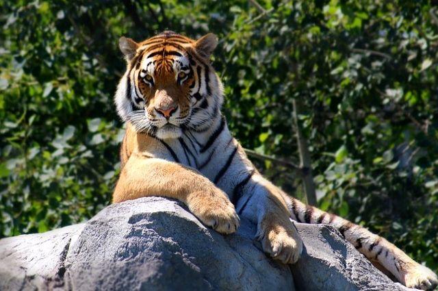 29 июля отмечается Международный день тигра.