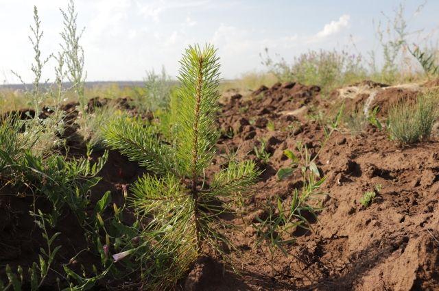 Сейчас взамен каждого вырубленного дерева высаживаются по 30-40 новых, и на территории Бузулукского района, и в других лесхозах.