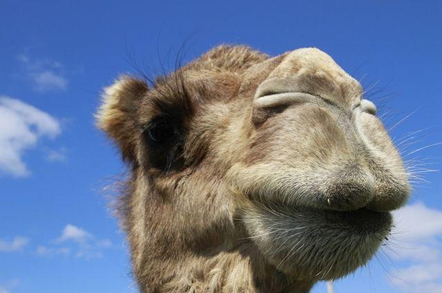 В Удмуртии на трассе очевидцы засняли стадо верблюдов